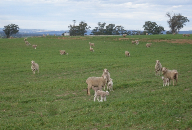Merino Sheep, Beamesfield Farm, Dunedoo, NSW