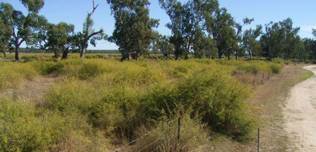 Mimosa Bush  - Photo Courtesy of Inverell Shire Council