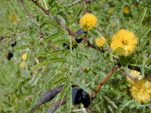 Mimosa bush- Public Domain