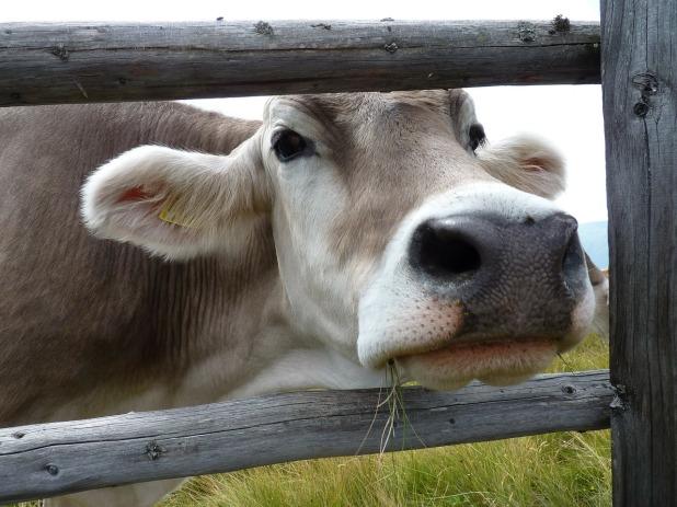 cows-84918_1280