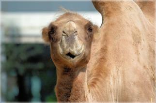 camel-216899_640