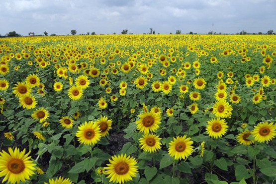 sunflower-fields-204183_640