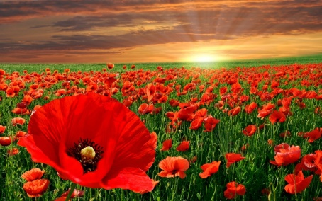 red-poppy-flowers-1280x800