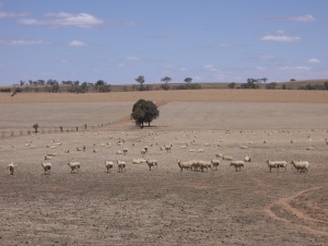Riverina_Sheep_(during_drought)