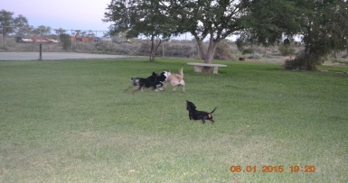 Four dogs playing